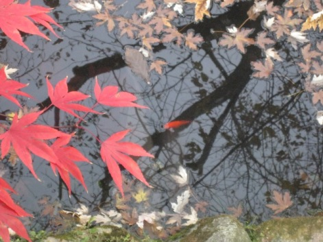 Maple Leaves and Koi Photo