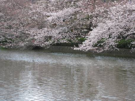Cherry Blossoms over Water
