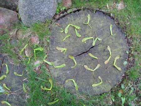 Maple Keys on Tree Stump