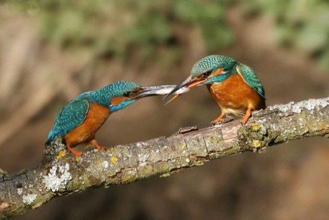 kingfishers sharing