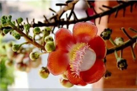 Bodhi Blossom
