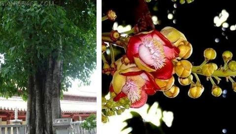 Bodhi Tree & Blossom