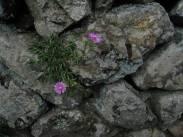 Ice Plant, Ota